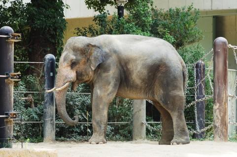 上野動物園で飼育されている象です